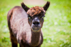 Staring lama Stock Photo