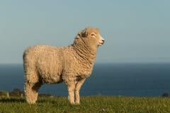 Staring lamb. Close up of staring lamb Royalty Free Stock Photo
