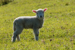 Staring lamb. Picture of staring lamb on meadow Royalty Free Stock Images