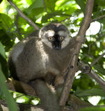 Staring Lemur Royalty Free Stock Images