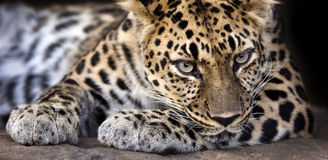 Staring leopard banner. Close up portrait of a leopard making eye contact Stock Images