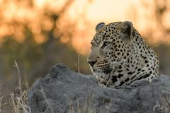 Staring Leopard. Male leopard resting on an ant hill staring in the veld with setting sun in the background Royalty Free Stock Photos