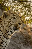 Staring Leopard. Male leopard resting on an ant hill staring in the veld with setting sun in the background Stock Photography