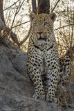 Staring Leopard. Male leopard sitting on an ant hill staring into the veld with setting sun in the background Stock Photos