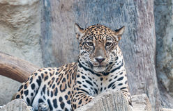 Staring of leopard Stock Photo