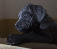 Staring at the light. Black Great Dane puppy staring at a light from its crate Royalty Free Stock Photos