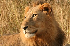 Staring lion. A male lion staring off into the bush Royalty Free Stock Images