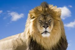Staring Lion royalty free stock photo