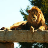 Staring Lion King under sunshine Stock Photography