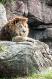 A staring lion. Under the afternoon sunlight Stock Images
