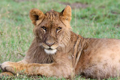 Staring lion. A young lion stares down the camera. Ol Pejeta Conservancy, Kenya Royalty Free Stock Image