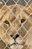 Staring Lioness Royalty Free Stock Image