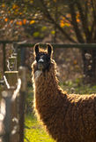 Staring Llama. A Llama stares while standing at a fence Stock Images