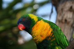 Staring Lorikeet Royalty Free Stock Image