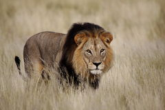 Staring male lion. Panthera leo isolated from background Stock Images