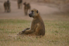 A Staring Male Olive Baboon Royalty Free Stock Images
