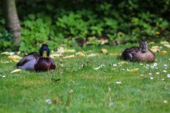 Staring mallard. Sitting male amd female mallard at grassfield during spring time Stock Photo