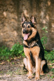 Staring Medium Size Long-Haired Mongrel Black And Red Dog Stock Photos