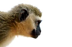 Staring monkey. Royalty Free Stock Photography