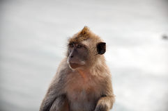 Staring monkey. A monkey staring alone on the ground Stock Photos