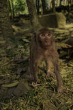 Staring Monkey. A Cambodian macaque monkey stares up Royalty Free Stock Photos