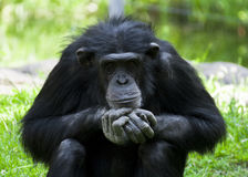 Staring monkey. Slapped his hands together in Kolmården Royalty Free Stock Photo