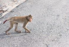 Staring monkey. Walking on concrete pathway Stock Photography