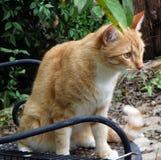 Staring Orange Tabby Cat. Ginger cat staring, with shiny amber eyes Stock Photo
