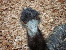 A staring ostrich in autumn. Ostrich staring Royalty Free Stock Photography