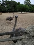 Staring ostrich Royalty Free Stock Photography