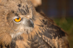 A Staring Owl. An owl staring right royalty free stock image