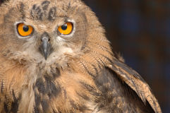 A Staring Owl 4. An owl staring straight ahead royalty free stock image