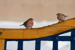 Staring Pair Of Finches Stock Photos
