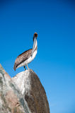 Staring Pelican Stock Images
