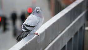 Staring pigeon sitting on the rail Stock Photo