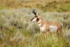Staring pronghorn. Male pronghorn staring into the distance stock images