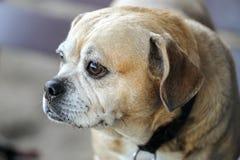 Staring Puggle. Puggle, Mixed breed of Pug and Beagle,staring at something at a dog park Stock Photos