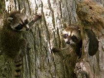 Staring raccoons Royalty Free Stock Photo