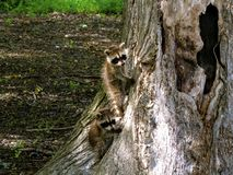 Staring raccoons. Two small baby raccoons staring at the camera while on a tree Stock Photos