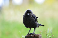 Staring raven in Richmond Park Stock Photography