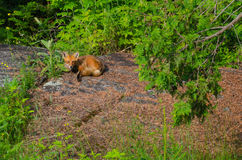 Staring Red Fox (Vulpes vulpes) Royalty Free Stock Photography