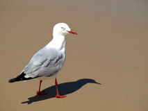 Staring Seagull Royalty Free Stock Photo