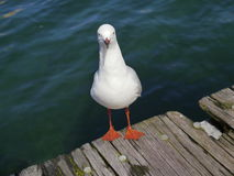 Staring seagull along the sea Royalty Free Stock Images