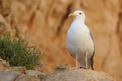 Staring Seagull Royalty Free Stock Images