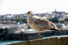 Staring Seagull on a stone wall Stock Photo