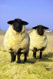 Staring sheep. Two curious staring black headed sheep Royalty Free Stock Photos