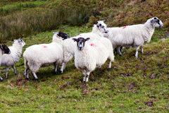 Staring sheep amongst a flock Stock Image