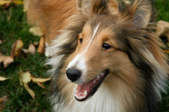 Staring Sheltie. A Shetland Sheepdog stares at his favorite toy stock image