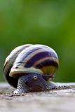 Staring snail. Stock Photography