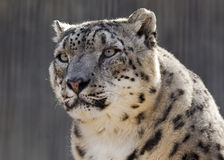 Staring snow leopard. Close up portrait of a snow leopard Stock Photos